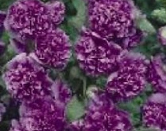 Violet Danish Double Hollyhock Flower Seeds / Alcea / Perennial  30+