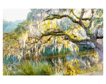 Live Oak Reflections II