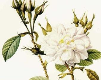 Perfumer's White Rose Redoute Rosa Bifera Alba Vintage Flower Bothanical Lithograph Poster Print To Frame 52