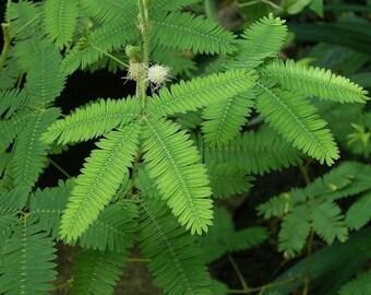100 SEEDS Mimosa Pudica Shy Sensitive Plant Pink Flower Garden Grass Bulk B4001