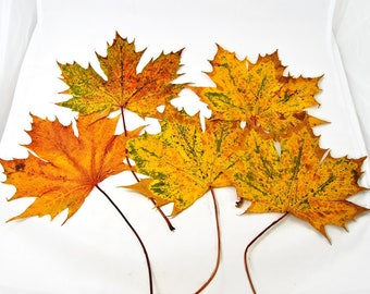 Herbarium Blätter getrocknete rote ahornblätter mit großen volumina herbstlaub