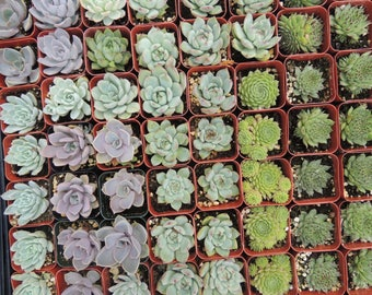 Collection of 35 succulents