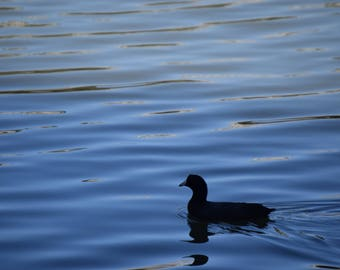 The Lonesome Duck