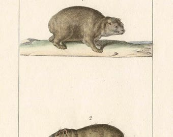 Marmottes - Antique French natural history lithograph, 1832