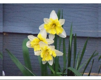 Daffodils note card