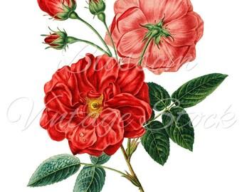 Rose PNG Red Roses Clipart, Rose Digital Image, Vintage Illustration for Printing, Digital Artwork - Digital Image INSTANT DOWNLOAD - 1154