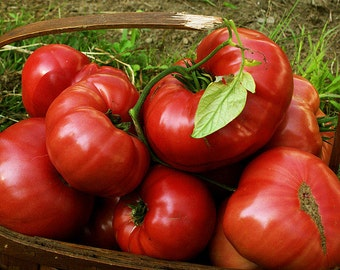 Heirloom Tomato- Brandywine Red- 90 to 100 day RED Indeterminate- 25 seeds