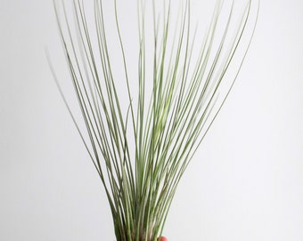 Tillandsia Air plant -  Gorgeous Large Juncea