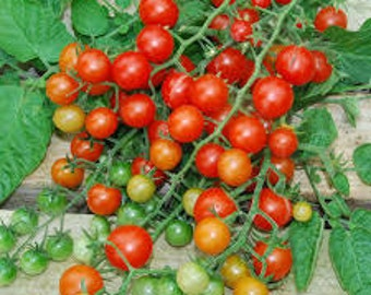Organic Red Currant Tomato Seed, non-GMO, Grown in the USA, Heirloom, Open-Pollinated