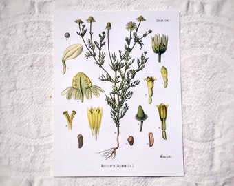 Botanical Prints Chamomile , Antique Herbalist Botanical Illustration, Wiccan Home Decor, Bohemian Room Decor, Vintage Botanical Drawing