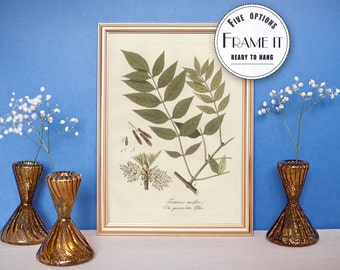 "Vintage illustration of European Ash - framed fine art print, botanical art, home decor 8""x10"" ; 11""x14"", FREE SHIPPING - 44"