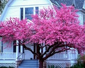 Cercis canadensis, Eastern Redbud, 10 seeds, cold hardy, zones 4 to 10, sun or shade, easy from seed, showy pink blooms, great street tree