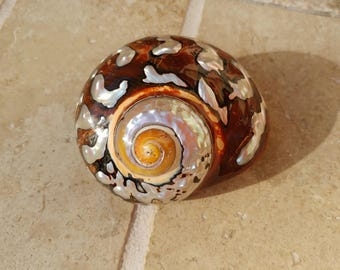 Smarticus - Polished Seashell - Pearlized Black and Orange Turbo - African Smarticus Seashell 221