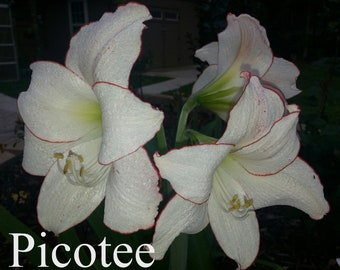 AMARYLLIS 4 Different Varieties of Amaryllis Seeds Picotee, Butterfly, Minerva and Red & White Unknown