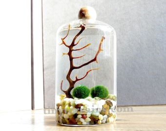 Marimo Terraium Kit: Small Slender Moss Terrarium, 23 Color, Personalized Gift, Gift Wrap, Card, Fast Shipping, Home Decor