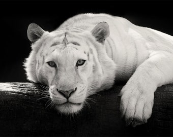 White Tiger Photo - 11x14 Black and White Tiger Photography Print - Minimal Animal Art