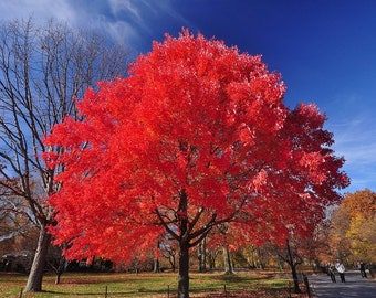 Red Maple Tree Seeds - AUTUMN BLAZE - Fast Growing Maple Tree (20 Clearly Superior Tree SEEDS)
