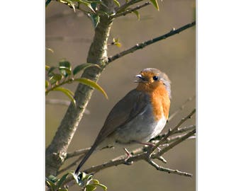 Songbird in Spring-Color wildlife photograph European Robin picture unique close up Valentine's Day gift wall art bird lover gift