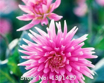 Dahlia Bulbs, (not Dahlia Seeds), Holland Dahlia Flower 3 Bulbs (item No: 15)