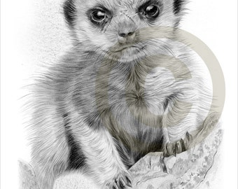 Meerkat Baby pencil drawing print - wildlife art - A4 size - artwork signed by artist Gary Tymon - Ltd Ed 50 prints only - pencil portrait
