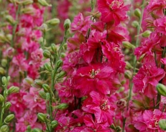 Larkspur Seeds Carmine King Flower, Easy to Grow, Attracts Hummingbirds and Butterflies, 20 Seeds