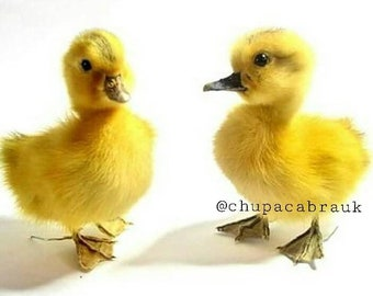 Taxidermy Duckling x10