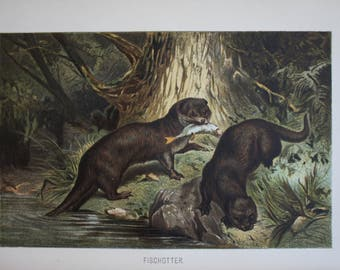 antique print otter 1895