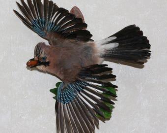 Eurasian Jay - Taxidermy Bird Mount, Stuffed Bird For Sale - ST3810