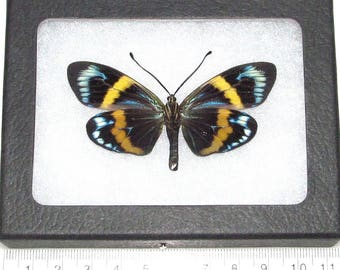 Real framed day flying moth blue green yellow eterusia repleta