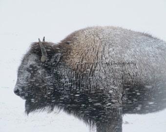 "Buffalo Photograph,  'Winter Bison' (16"" x 20"" photograph) -buffalo, Yellowstone, Montana, Wyoming, snow, blizzard-"