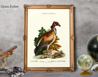 Bird Decorating, Print Gift for Her, Vulture Art Poster, Grandmother Present, Room Decor, Antique Zoology Art, King Vulture Bird - E17o3