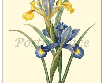 ART CARD - Vintage Iris botanical print reproduction 1037