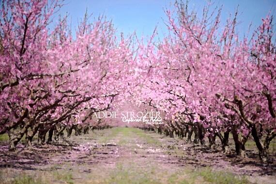 Peach blossom trees print spring flowers georgia south mightylinksfo