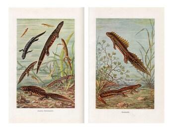 2x c. 1900 SALAMANDER PRINTS ANTIQUE lithographs - original antique prints - amphibian lithographs -