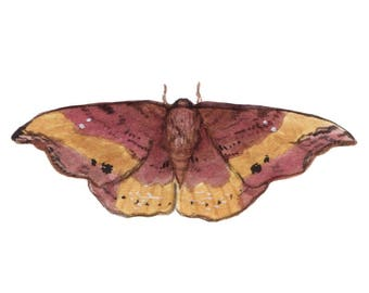 Rose Hooktip Moth