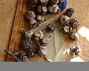 Real Natural Arizona or Italian Cypress Cones, Seed Pods Aged Found Objects for Crafting