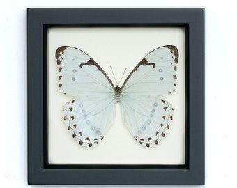 Real Framed Butterfly Mint Morpho