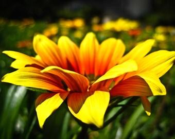 Sunflower Grow Bloom