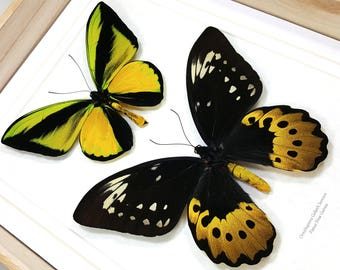 FREE SHIPPING Framed Ornithoptera Goliath Samson PAIR Birdwing Butterfly Taxidermy  A1