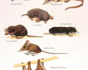 Moles, Elephant Shrew, Flying Lemur Vintage 1984 Animals Book Plate