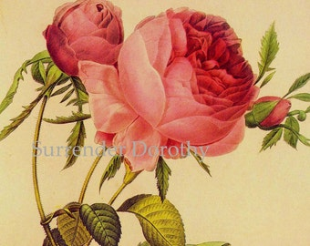 Pink Rose Rosa Centifolia Foliacea Vintage Flower Redoute Botanical Lithograph Poster Print To Frame 83
