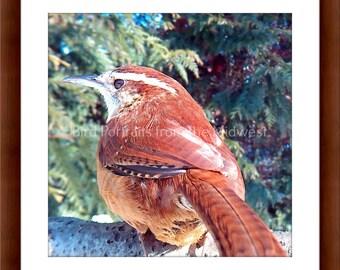 Midwest Bird Photo of a Carolina Wren