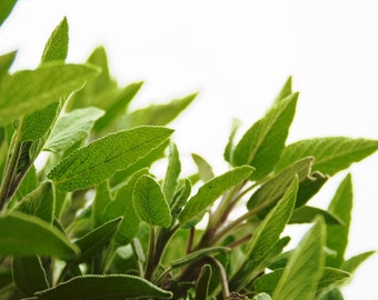 Sage Fragrance Oil Low Shipping