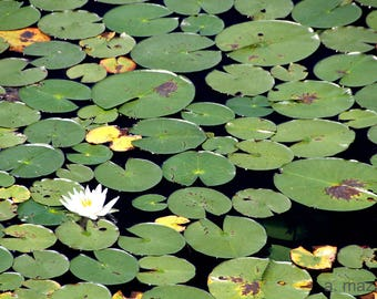 """8"""" x 10"""" Lily Pads Photograph"""