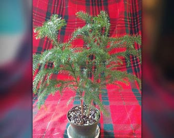 Norfolk pine tree, evergreen, well rooted