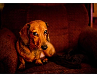 The Sophisticated Dachshund Color Print Photography Doxie Photo
