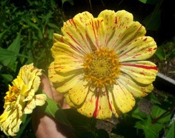 Candy Stripe Mix Zinnia - heirloom seeds