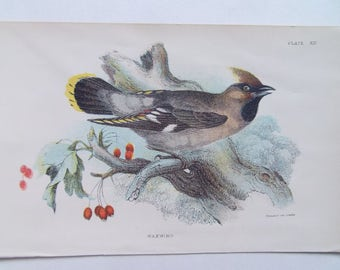 Birds-Waxwing Vintage bookplate- dated 1880 12cm x 18cm