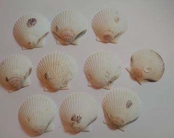 Scallop Shells - From Crystal River, FLorida - Freshly Caught by me - Shells - Seashells - White Seashells - 10 Natural Shells  #125