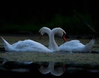 Two white swans in black lake, romantic love birds, lovebirds wall art home decor. Gift for girlfriend or wife, parents anniversary romance